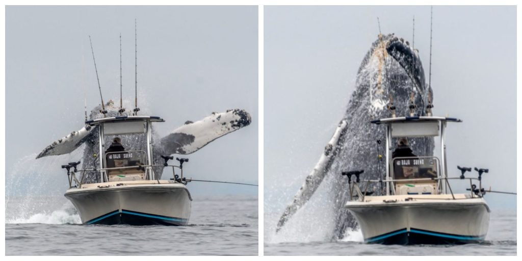 Video Depicts Huge Humpback Whale Leaping Out Of Sea Right Next To Fishing Boat