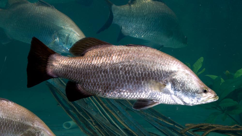 10 Ikan Konsumsi Air Payau Paling Sering Di Makan Manusia