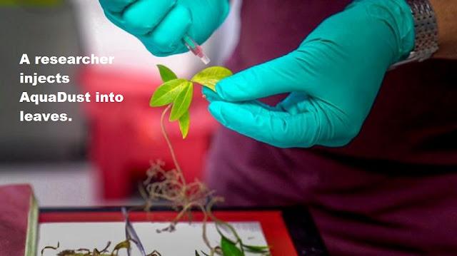 Nanoscale sensors measure elusive water levels in leaves