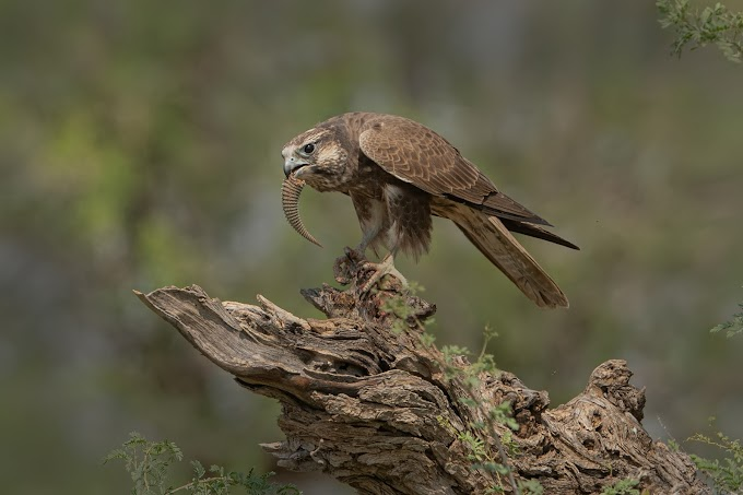Laggar Falcon feasting on a Spiny-tailed Lizard at Tal Chappar