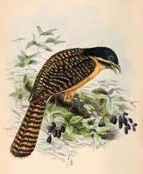 Koel oriental: Eudynamys orientalis