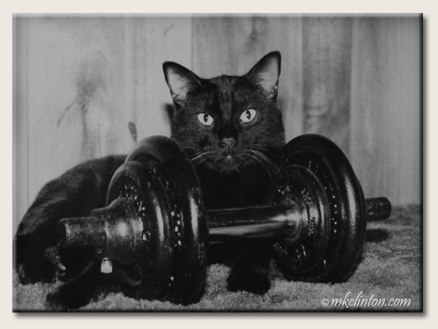 Black Manx with small barbell