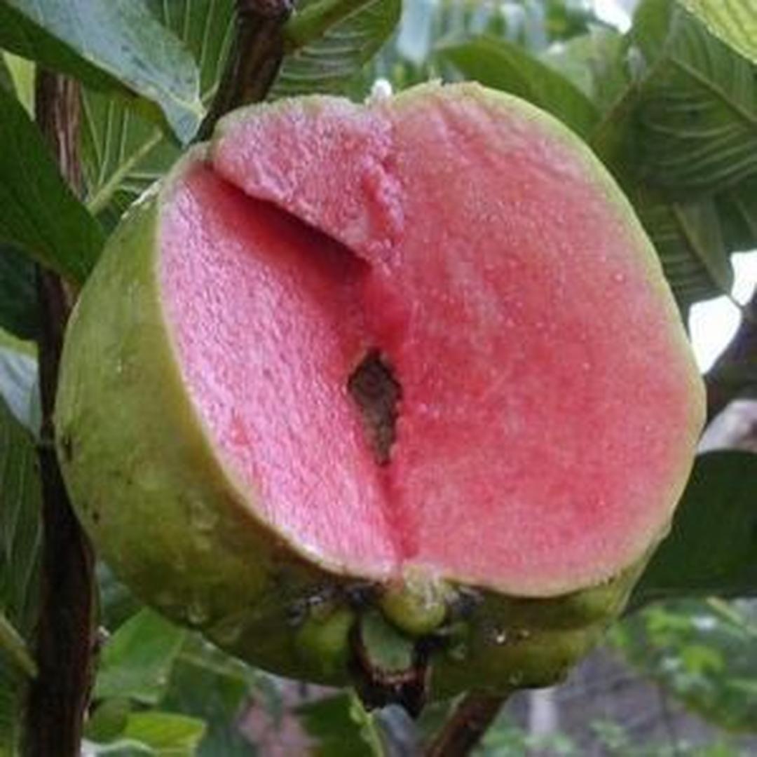 Laris! paket 4 bibit buah apel putsa mangga irwin jeruk dekopon jambu sukun merah Kota Bandung #bibit buah genjah murah