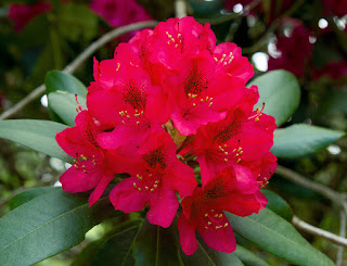 Our memorial flower - rhododendron