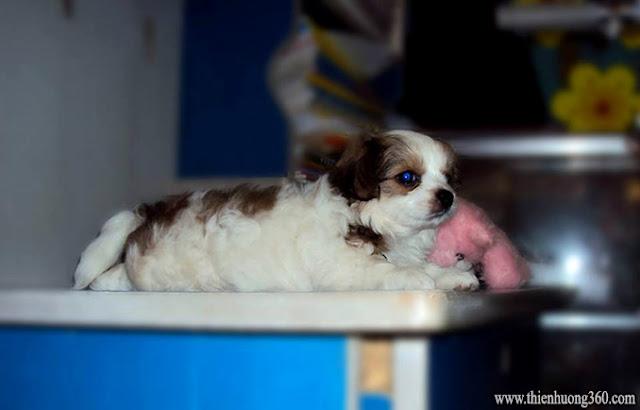 Cách nuôi chó con khoẻ mạnh và nhanh lớn