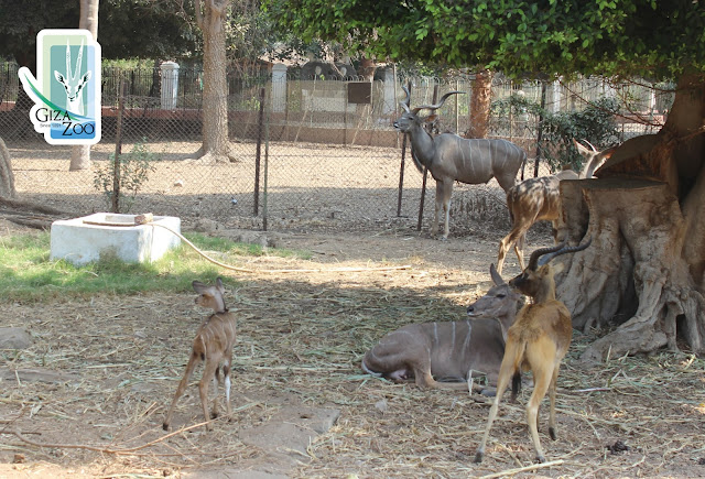 Baby Kudu with the rest of the clan at Giza Zoo