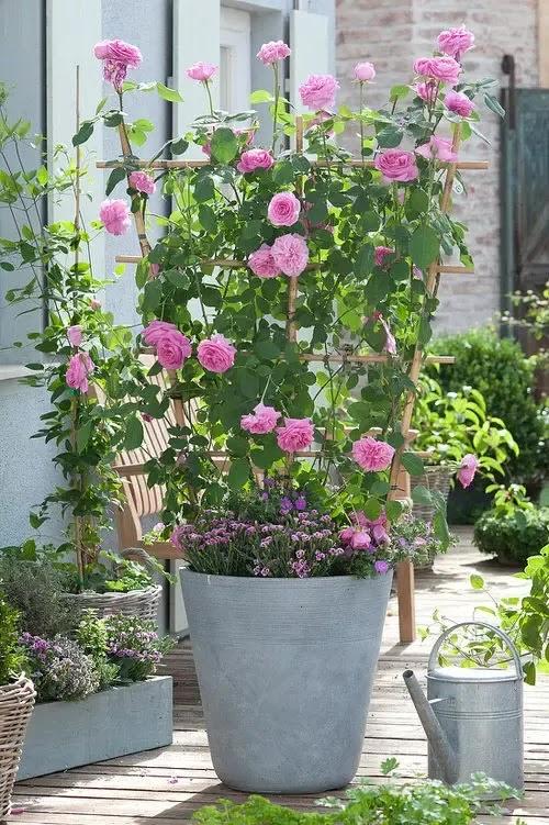cvijeće_ruža_balkon_vrt_mini-ruže