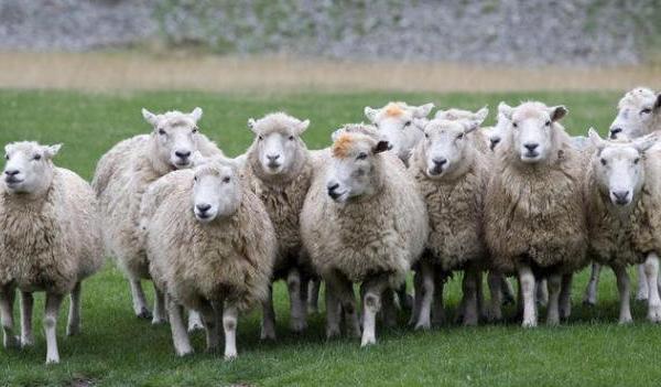 Μεσολόγγι: Αγροτικό παρέσυρε και σκότωσε 30 πρόβατα