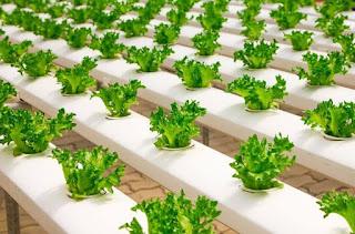 manfaat-tanaman-hidroponik