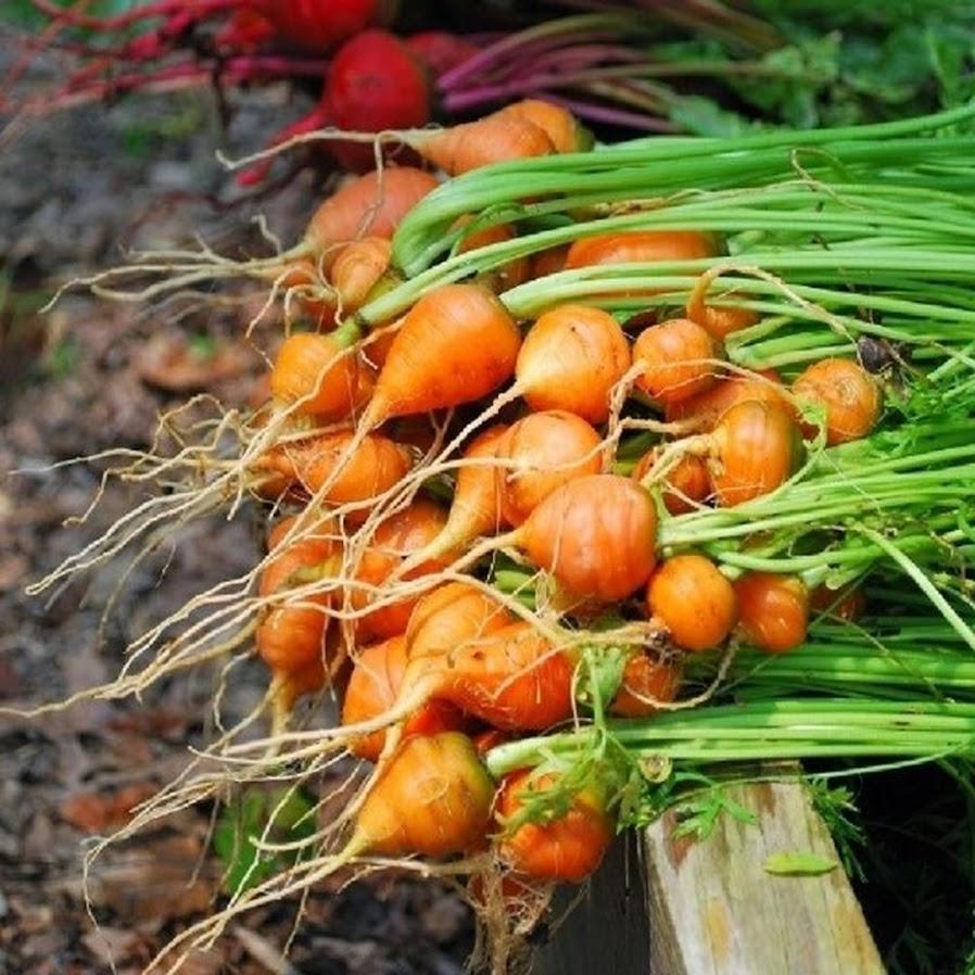 Benih Bibit Biji Wortel Parisian Carrot Bibit Import Kalimantan Timur