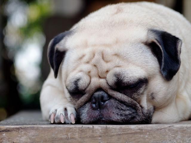 A pug fast asleep