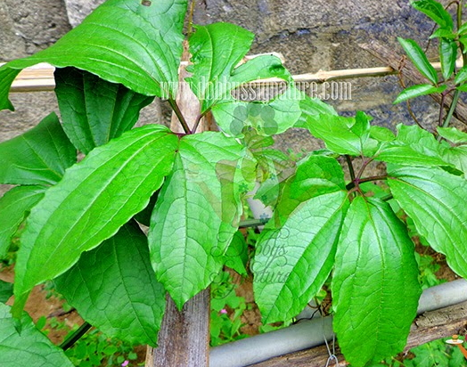 ugu leaf farming business in nigeria