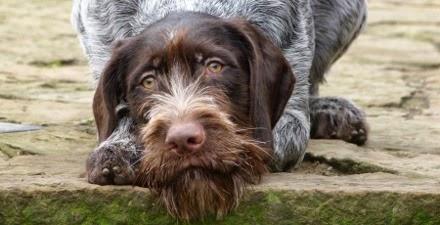 Braco Alemán De Pelo Duro Blog Perro