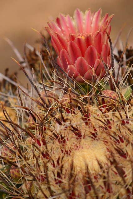 amy myers photography, desert, ferocactus, cactus, bloom, flower, sonoran, journal of a thousand things