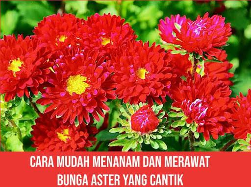 Cara Mudah Menanam Dan Merawat Bunga Aster Yang Cantik
