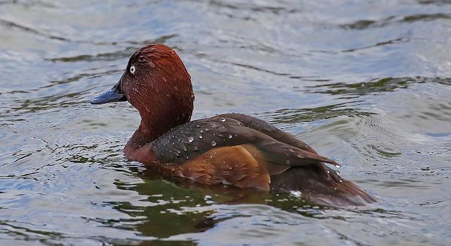 Porrón pardo macho - Laguna de Aclimatación - Tablas de Daimiel