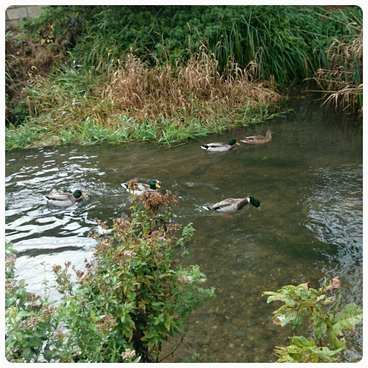 ducks in the river dour