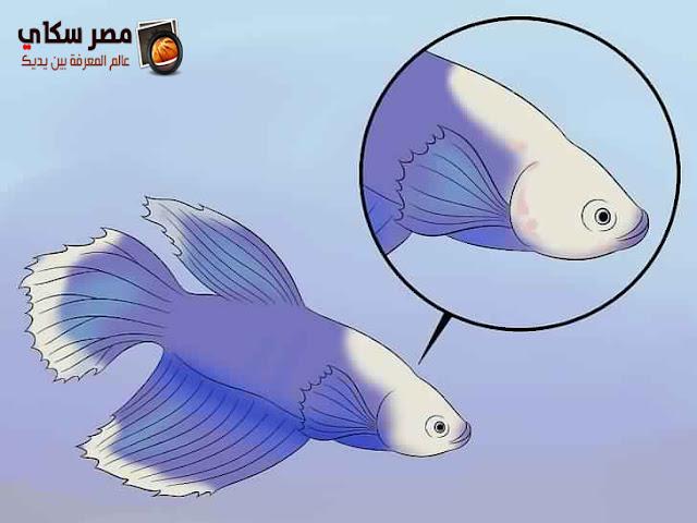 أساسيات تربية أسماك الزينة Ornamental fish