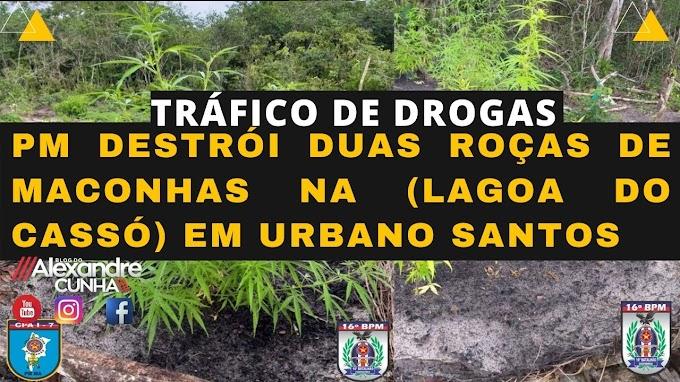 Polícia destrói roças de maconha na Lagoa do  Cassó, em Urbano Santos MA