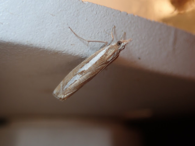Catoptria mytilella