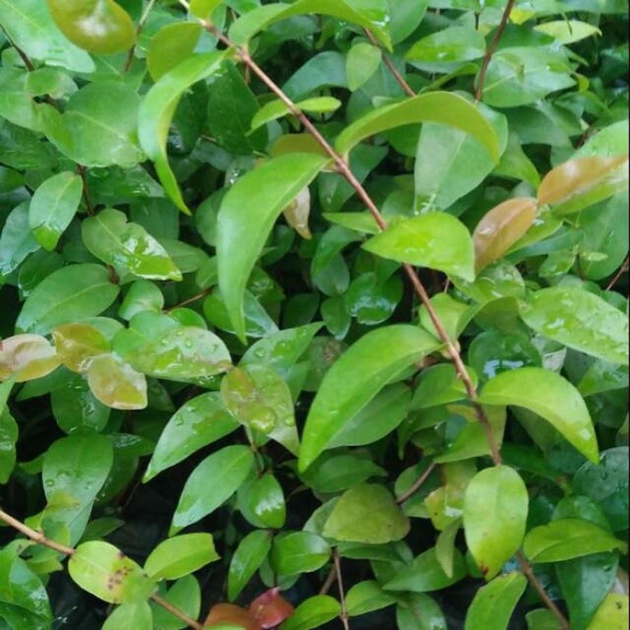 Bibit Tanaman Buah Cermai Merah Dewandaru Eugenia uniflora Sorong
