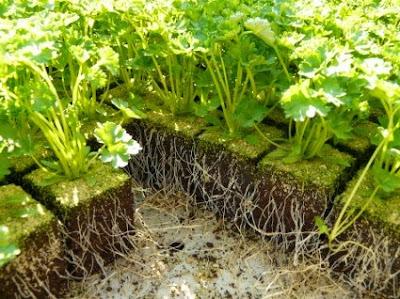 Αρωματικά / Φαρμακευτικά φυτά -Πολλαπλασιαστικό υλικό