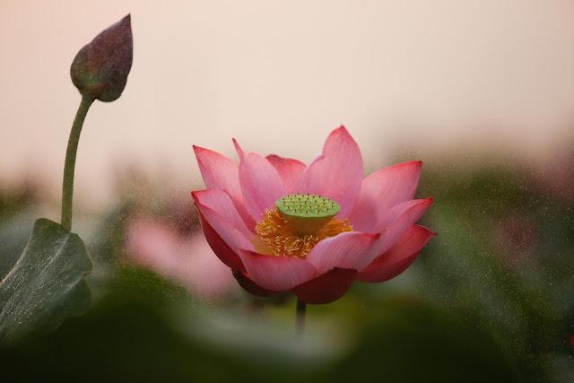 Về La Chữ ngắm sen hồng, nghe tiếng chuông đồng Tây Sơn