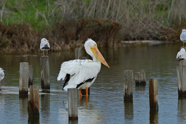 A Great White Pelican Resting