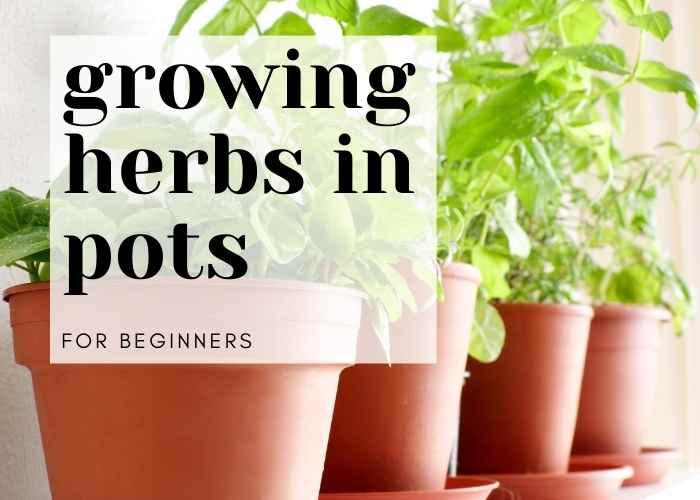 Growing Herbs in Pots for Beginners