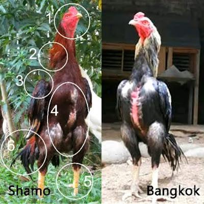 Perbedaan Dasar Ayam Shamo dan Bangkok