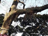 A branch growing 'legs', Enoshima, Japan