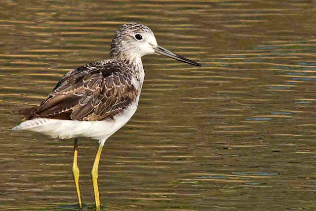 birds, Cornell, Japan, Marsh Sandpiper, Okinawa