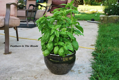Giant basil plant in a pot outside