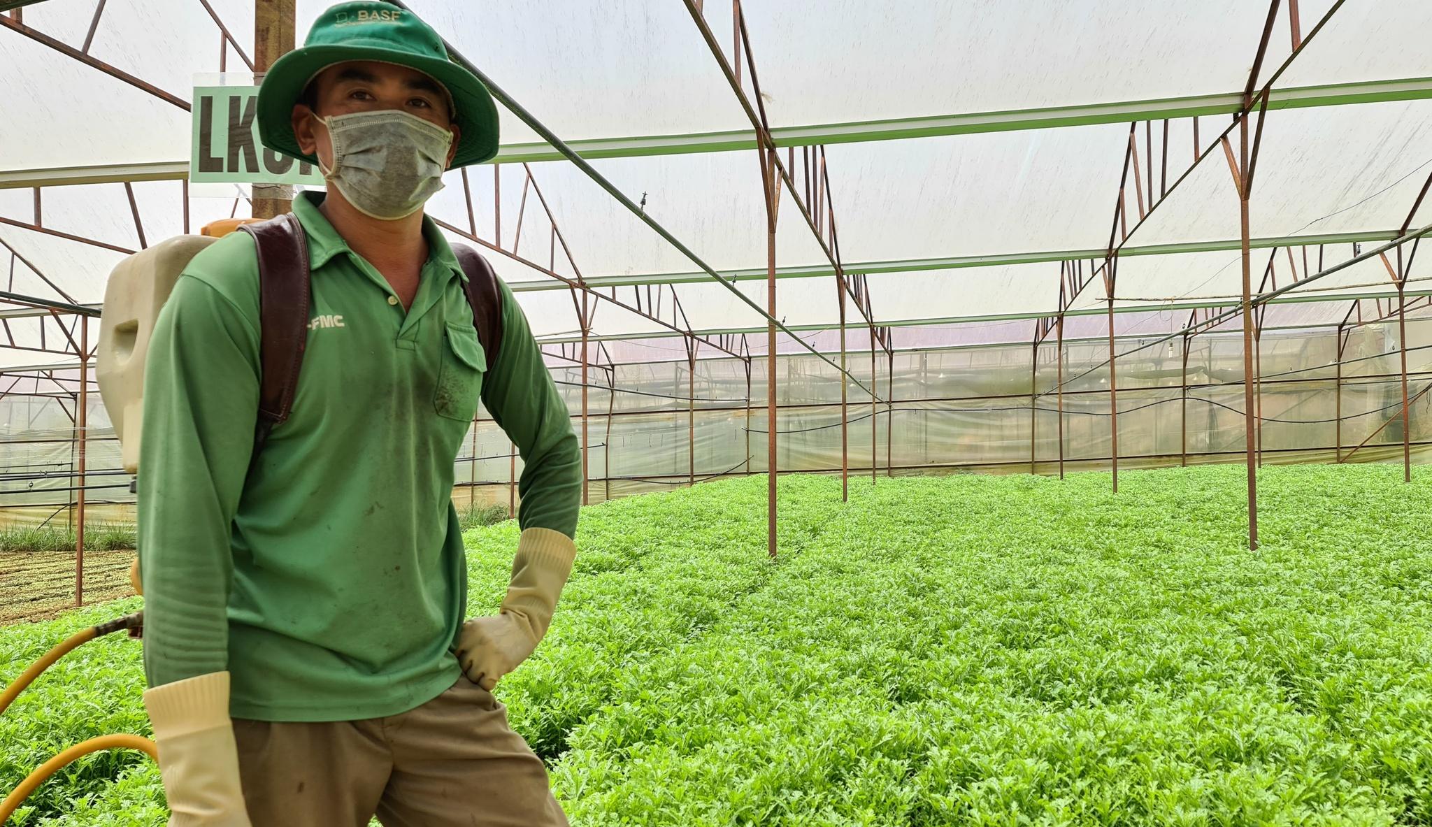 Nông dân Trần Minh Khuê, P.7 Đà Lạt đang mong sẽ bán được vườn tần ô, trước đây đã 2 lần phải cho các nhóm làm từ thiện. Ảnh: Lâm Viên