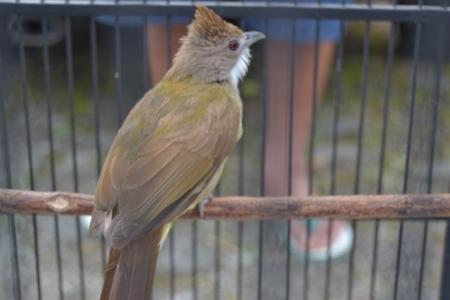 Burung Cucak Jenggot Perawatan Burung Cucak Jenggot Agar Mbeset Gacor Saat Dilapangan Penangkaran Burung Cucak Jenggot
