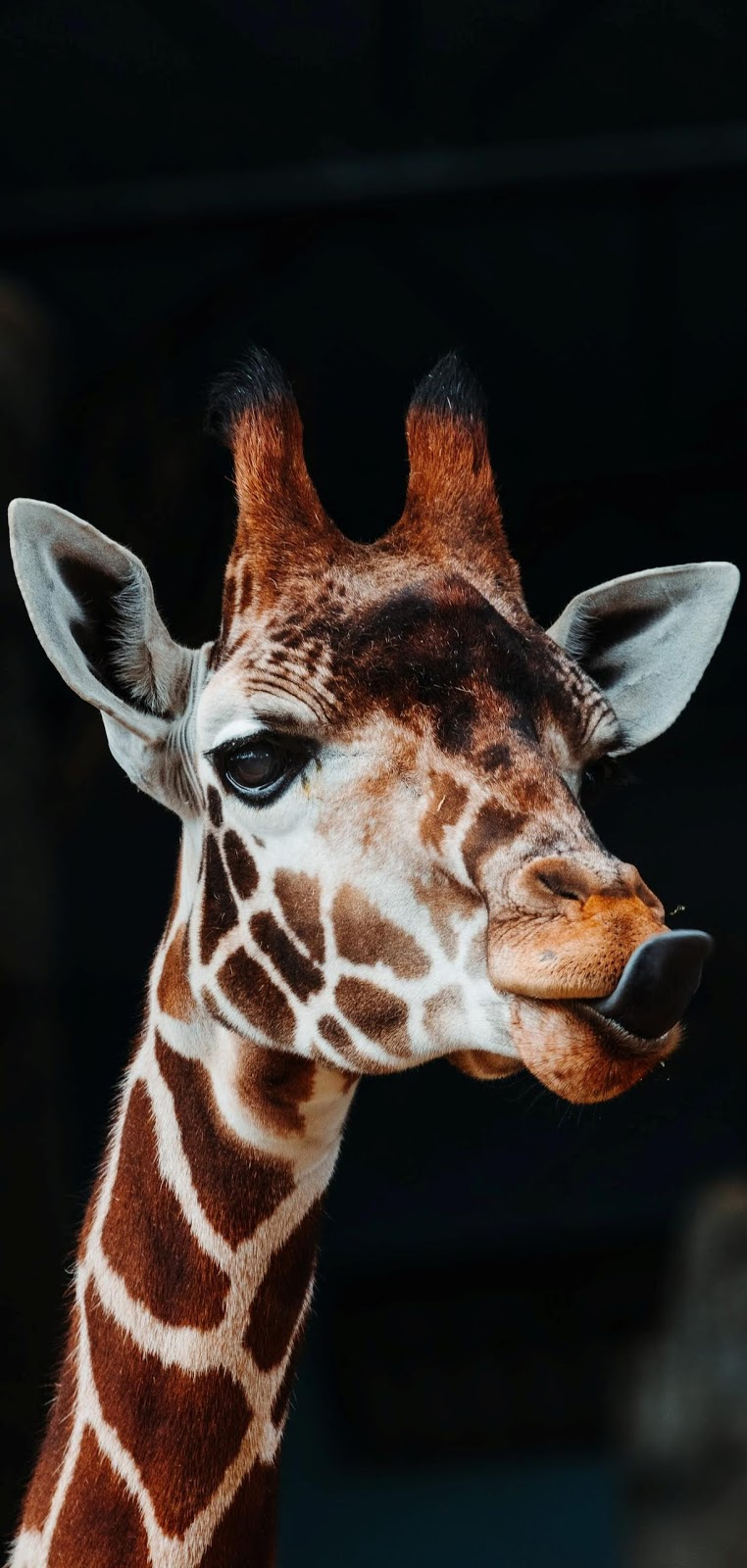Giraffe with tongue out.