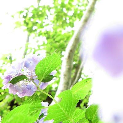 2020紫陽花