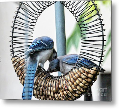 This is a screen shot of one of my images of Blue Jays which has been rendered on to metal and is available in different sizes via Fine Art America. https://fineartamerica.com/featured/blue-jays-wooing-1-patricia-youngquist.html?product=metal-print