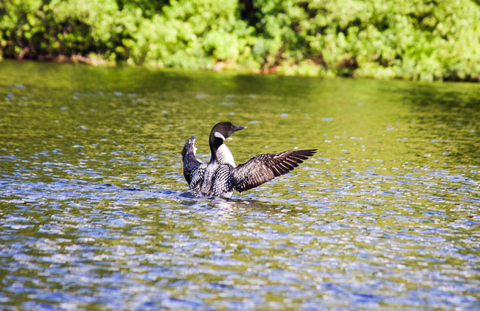 Loon with wings spread on Schroon Lake, NY