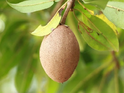 Sapodilla Health Benefits, Nutritional Content