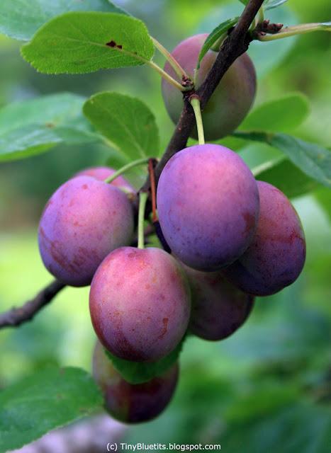 Plum tree 'Sinikka'