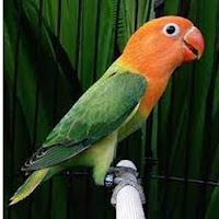 7 Burung Lovebird Biola Paling Bagus dengan Bulu Cantik