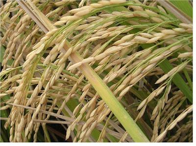 Poaceae atau graminae (rereumputan) - pustakapengetahuan.com