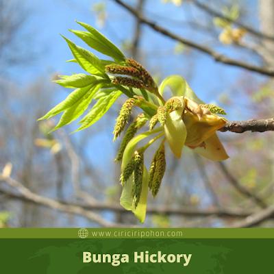 Ciri Ciri Bunga Hickory
