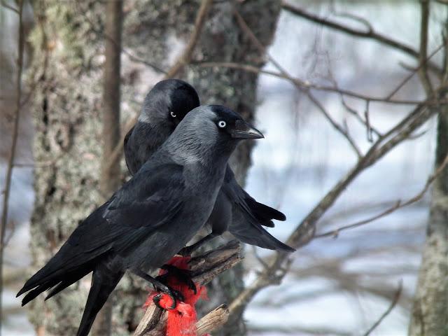 naakat, linnut, kevät, naakka pariskunta