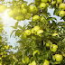 Apel Malang : Kaya Vitamin, Mineral, Serat, dan lain-lain