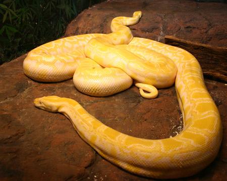 งูเหลือมเผือกพม่า (Albino Burmese Pythons)