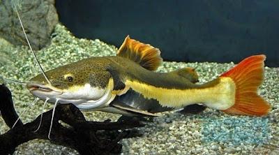 Habitat Ikan Red Tail Catfish