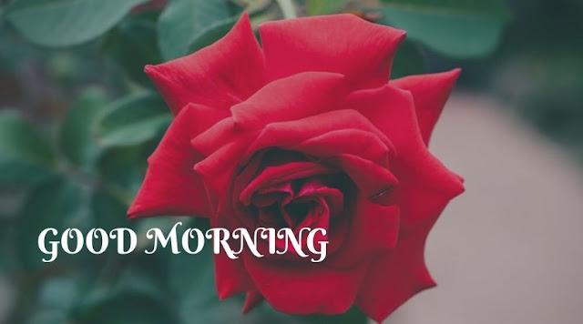 good morning rose images hd download
