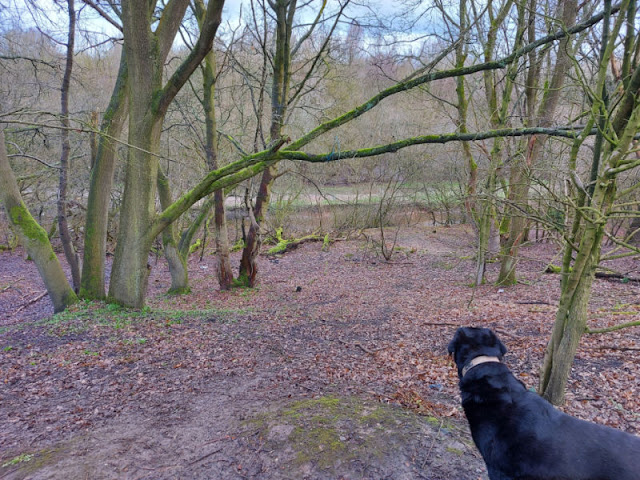 A black dog looks down a slope into a wooded area with a pond in the background